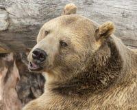 Oso de Grizzley que forrajea para la comida Imagenes de archivo