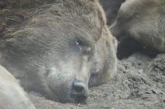 Oso de Grizzley que forrajea para la comida fotos de archivo
