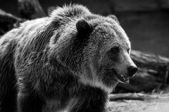 Oso de Grizzley que forrajea para la comida Fotografía de archivo libre de regalías