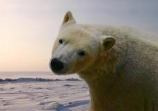 Oso de hielo Foto de archivo libre de regalías