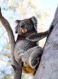 Oso de Koala Imágenes de archivo libres de regalías