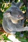Oso de Koala Imagen de archivo