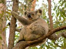 Oso de koala Imagen de archivo libre de regalías