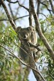 Oso de Koala Foto de archivo libre de regalías