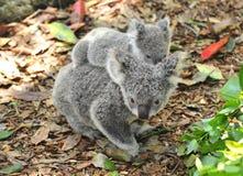 Oso de koala australiano que lleva al bebé lindo imagen de archivo libre de regalías