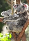 Oso de koala australiano que lleva al bebé lindo Australia fotos de archivo
