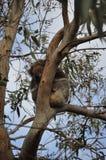 Oso de koala el dormir fotos de archivo
