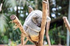 Oso de koala el dormir Imagen de archivo