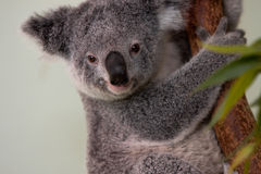 Oso de Koala en un árbol Imágenes de archivo libres de regalías