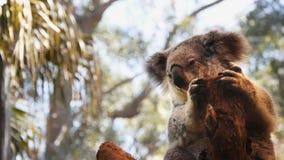 Oso de koala en un árbol metrajes