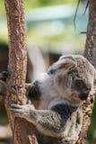 Oso de koala lindo que se sienta en rama de árbol fotografía de archivo