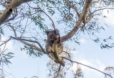 Oso de koala que descansa en árbol Imagen de archivo libre de regalías