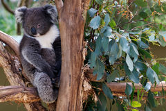 Oso de koala soñoliento en árbol Fotos de archivo