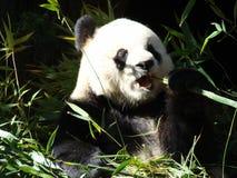 Oso de la panda Imagen de archivo libre de regalías