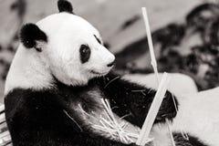 Oso de la panda Fotos de archivo