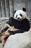 Oso de la panda Imagenes de archivo