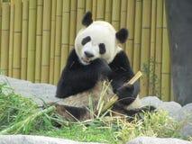 Oso de panda en el parque zoológico Foto de archivo libre de regalías