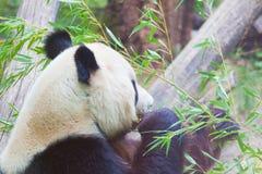Oso de panda enorme Imagen de archivo libre de regalías