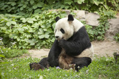 Oso de panda gigante Imagen de archivo