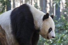 Oso de panda gigante Imágenes de archivo libres de regalías