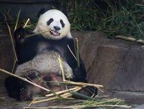 Oso de panda gigante Fotos de archivo libres de regalías