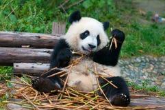 Oso de panda gigante que come el bambú Foto de archivo libre de regalías
