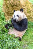 Oso de panda gigante que come el bambú en un parque zoológico imágenes de archivo libres de regalías