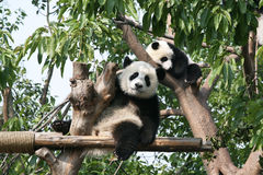 Oso de panda gigante que mira la cámara imagen de archivo libre de regalías