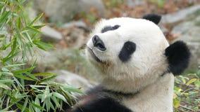 Oso de panda que mira para arriba Foto de archivo libre de regalías