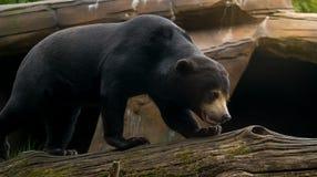 Oso de Sun también conocido como oso de miel Imagen de archivo libre de regalías