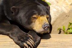 Oso de Sun también conocido como oso malasio Foto de archivo libre de regalías