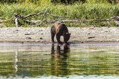 Oso en Kamchatka Un oso marr?n en el agua en Kamchatka, Rusia imagen de archivo libre de regalías