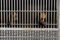 Oso en una jaula Fotografía de archivo libre de regalías
