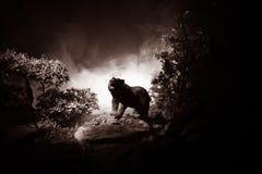 Oso enojado detrás del cielo nublado del fuego La silueta de un oso en fondo de niebla de la oscuridad del bosque fotografía de archivo libre de regalías