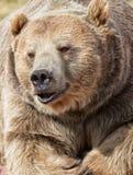 Oso grizzly Imágenes de archivo libres de regalías