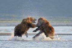 Oso grizzly Fotografía de archivo libre de regalías