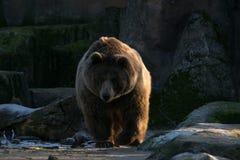 Oso grizzly bajo luz de la puesta del sol foto de archivo libre de regalías