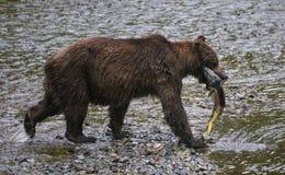 Oso grizzly con los salmones del amigo Fotos de archivo libres de regalías