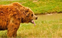Oso grizzly de bostezo imagen de archivo
