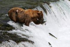 Oso grizzly de la pesca Fotografía de archivo
