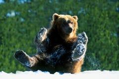Oso grizzly en el juego en nieve Foto de archivo