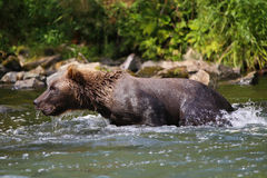 Oso grizzly en el río de Alaska Imagenes de archivo
