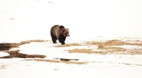 Oso grizzly en las nieves de Yellowstone Fotografía de archivo
