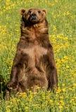 Oso grizzly en un prado Foto de archivo