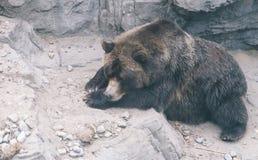 Oso grizzly grande que duerme en la tierra fotos de archivo libres de regalías