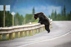 Oso grizzly (horribilis de los arctos del Ursus) Fotos de archivo libres de regalías