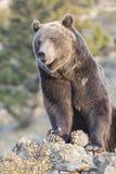 Oso grizzly norteamericano en la salida del sol en los E.E.U.U. occidentales Imagen de archivo libre de regalías