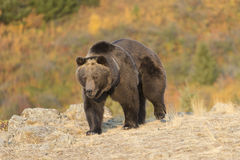 Oso grizzly que camina en la salida del sol Imágenes de archivo libres de regalías