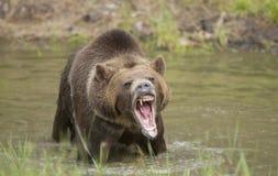 Oso grizzly que gruñe cerca para arriba, principal y hombros fotografía de archivo