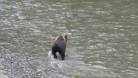Oso grizzly que intenta coger un pescado almacen de metraje de vídeo